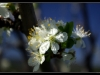 cherrytreefloret